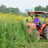รณรงค์ไถกลบพืชปุ๋ยสด(ปอเทือง) ในโครงการเมืองเกษตรสีเขียว
